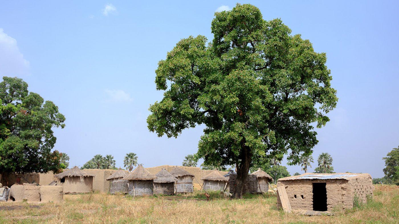 Lerhyddor bredvid ett stort träd.