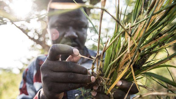 En man undersöker knottlarver från Agogofloden i norra Uganda.