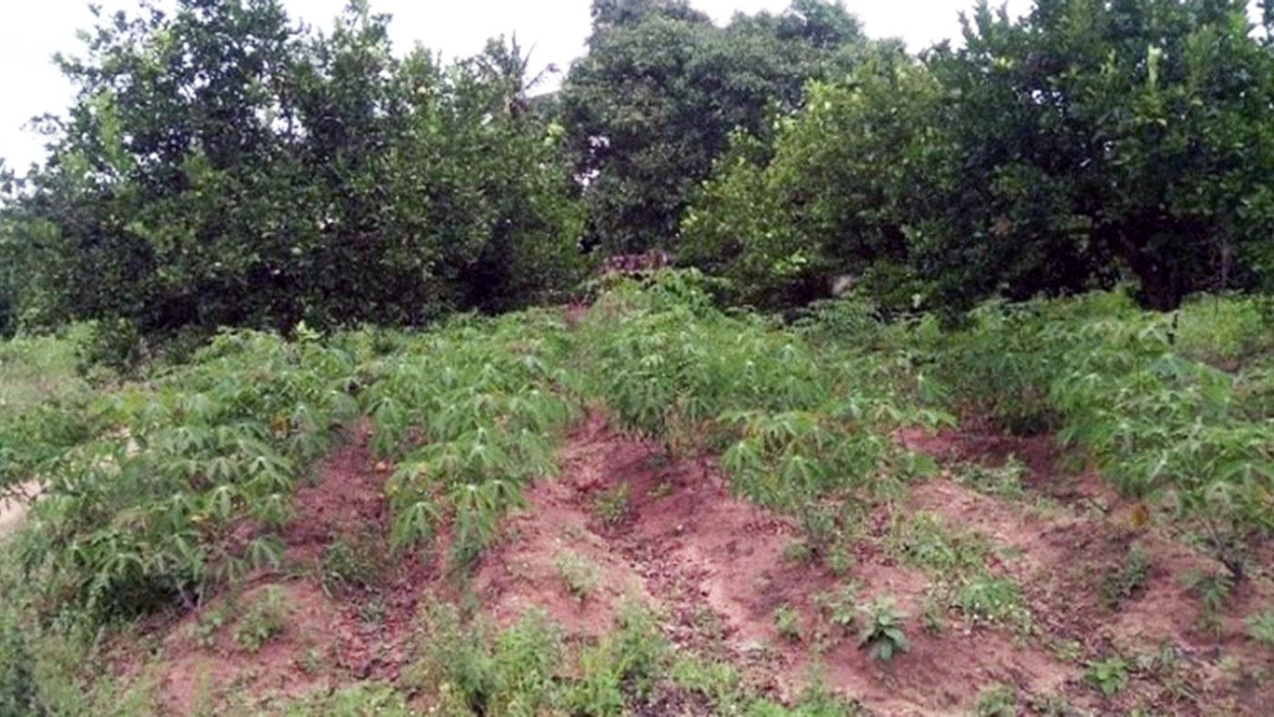 Emmanuel's orchard.